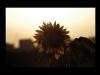 Sunflowerset